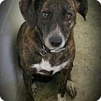 Adopt A Pet :: Bella - Paducah, KY