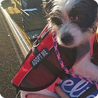Jack Russell Terrier Mix Dog for adoption in Richmond, Virginia - Dixie