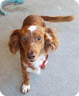 Dachshund/Spaniel (Unknown Type) Mix Dog for adoption in Lompoc, California - Riley