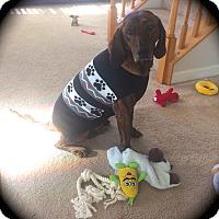 Adopt A Pet :: Tiger - Ijamsville, MD