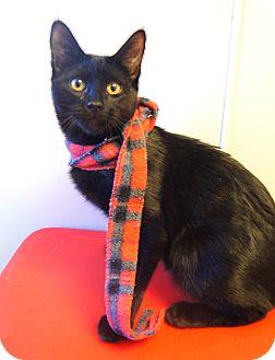 Domestic Shorthair Kitten for adoption in Colorado Springs, Colorado - Jellybean