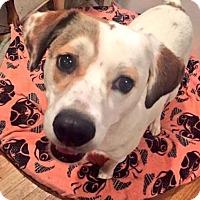 Hound (Unknown Type)/Labrador Retriever Mix Dog for adoption in New York, New York - Blossom