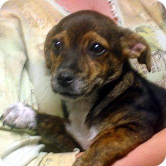 ... Adopted Puppy | 8024 | Brattleboro, VT | Dachshund/Boston Terrier Mix