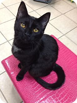 Domestic Shorthair Cat for adoption in Byron Center, Michigan - Tinker