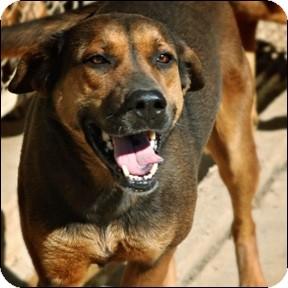 Shepherd (Unknown Type)/Labrador Retriever Mix Dog for adoption in Shreveport, Louisiana - Barbie