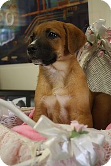 Labrador Retriever/Rhodesian Ridgeback Mix Puppy for adoption in Marietta, Georgia - Fergie