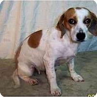 Adopt A Pet :: DARLA - Rossford, OH