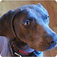 Adopt A Pet :: BLUE - Malibu, CA