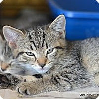 Adopt A Pet :: Felicity - Island Park, NY