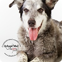 Adopt A Pet :: Teddy Bear - Denver, CO