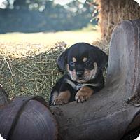 Adopt A Pet :: Burlie Jean - Russellville, KY