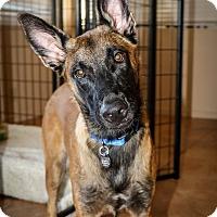 Adopt A Pet :: Trigger - Phoenix, AZ