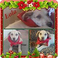 Adopt A Pet :: Lola Adoption pending - Manchester, CT
