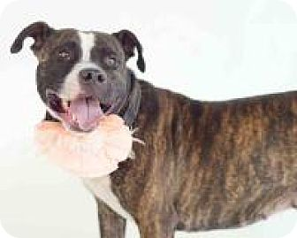 Pit Bull Terrier/Boxer Mix Dog for adoption in New Smyrna Beach, Florida - Kelly