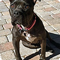 Pit Bull Terrier Mix Dog for adoption in Wildomar, California - Maxi