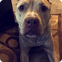 American Pit Bull Terrier Mix Dog for adoption in New Canaan, Connecticut - Chopper
