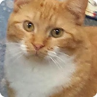Domestic Shorthair Cat for adoption in Colfax, Iowa - Ivy
