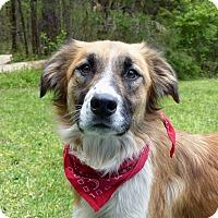 Adopt A Pet :: Mollie - Mocksville, NC