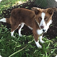 Adopt A Pet :: Mocha - Midwest (WI, IL, MN), WI