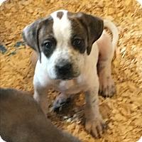 Adopt A Pet :: Darcy 2m 2 f - Pompton Lakes, NJ