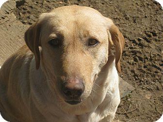 Labrador Retriever Mix Dog for adoption in Albany, New York - Danielle