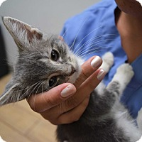 Domestic Shorthair Kitten for adoption in Marina del Rey, California - Heart