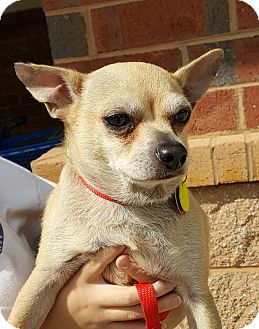 Chihuahua Mix Dog for adoption in Summerville, South Carolina - Peanut