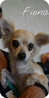 Chihuahua Mix Dog for adoption in Mesa, Arizona - Fiona