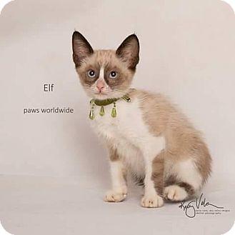 Snowshoe Kitten for adoption in Westlake, California - ELF
