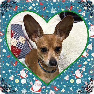 Chihuahua Dog for adoption in St. john, Indiana - Batman