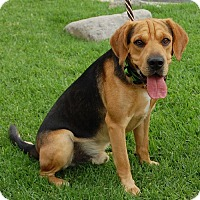Hound (Unknown Type) Mix Dog for adoption in West Los Angeles, California - Laredo