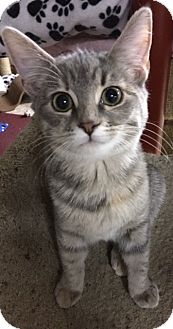 Domestic Shorthair Kitten for adoption in Bloomsburg, Pennsylvania - Dyna