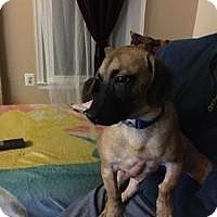 Basset Hound/Shepherd (Unknown Type) Mix Puppy for adoption in Marlton, New Jersey - Alex