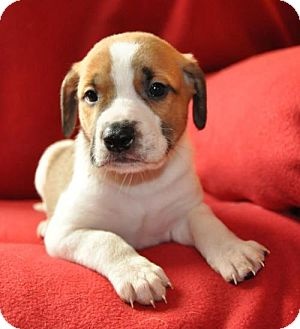 Boxer Mix Puppy for adoption in Edina, Minnesota - Blizzard D161937: PENDING ADOPTION
