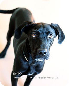Retriever (Unknown Type)/Labrador Retriever Mix Dog for adoption in Appleton, Wisconsin - Jimbo