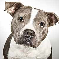 Adopt A Pet :: Miss Dixie Lee Diamond - New York, NY