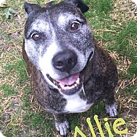 """Pit Bull Terrier/Boxer Mix Dog for adoption in Cleveland Heights, Ohio - Allie~ The """"Dream"""" Dog"""