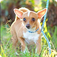 Chihuahua Dog for adoption in Corona, California - PAPI