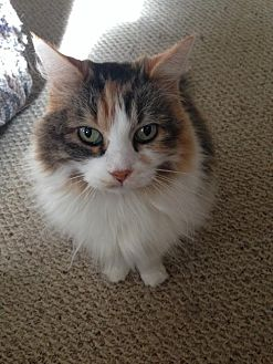 Calico Cat for adoption in Bloomington, Minnesota - Lulu
