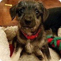 Adopt A Pet :: Lacey Gray - Pittsburg, CA