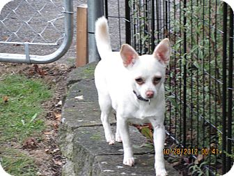 Chihuahua Mix Dog for adoption in Seattle, Washington - Peanut