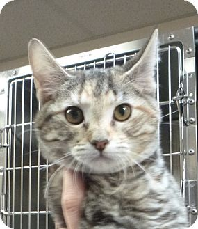 Domestic Shorthair Kitten for adoption in St. Petersburg, Florida - Beans