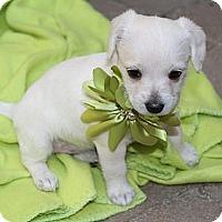 Adopt A Pet :: Mochi - La Habra Heights, CA