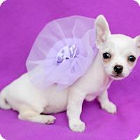 Adopt A Pet :: Cassiopeia - Austin, TX