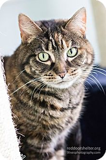 Domestic Shorthair Cat for adoption in Chicago, Illinois - Opal