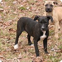 Adopt A Pet :: Ariel - Brattleboro, VT