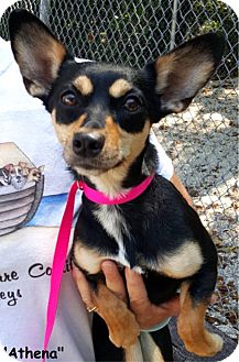 Chihuahua/Dachshund Mix Dog for adoption in Key Largo, Florida - Athena