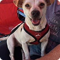 Chihuahua Mix Dog for adoption in Oakdale, California - Henry