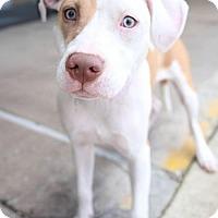 Adopt A Pet :: Adele - Houston, TX