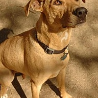 Labrador Retriever Mix Dog for adoption in Pt. Richmond, California - COCO